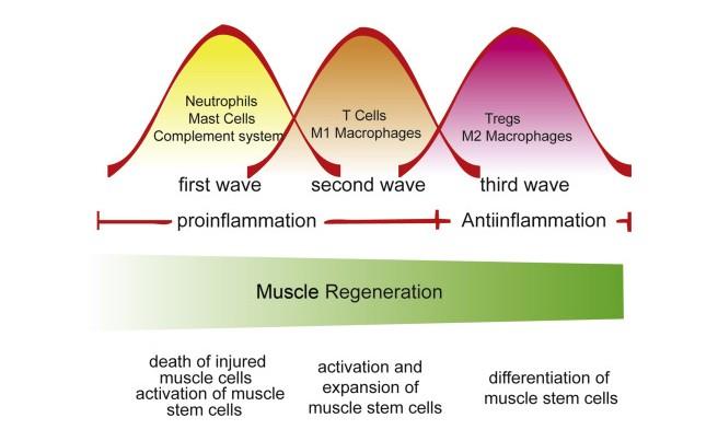 Muscle Regeneration